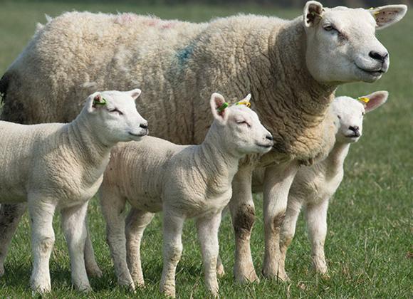 Drægtighedssyge hos får