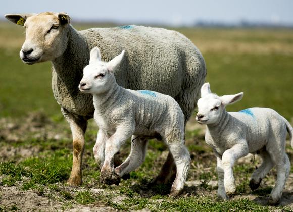 Kalkmangel hos drægtige får