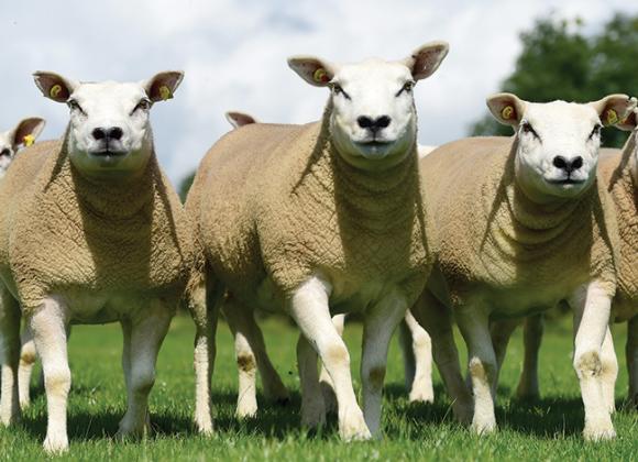 Mikromineraler til får og lam