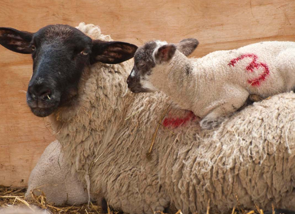 Skedeprolaps hos får